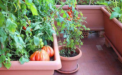 Tomaten Auf Dem Balkon Anbauen Tipps