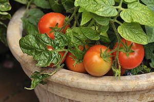 Gemüse Auf Den Balkon Ziehen Gemuse Im Blumentopf Garten Balkon Tipps