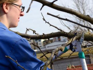 Frau beschneidet Obstbaum