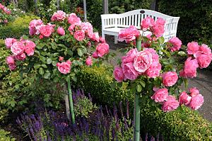 wenn die forsythie bl ht ist es zeit die rosen zu schneiden. Black Bedroom Furniture Sets. Home Design Ideas