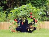 Erdbeeren im Pflanztopf