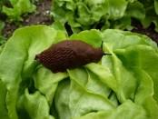 Schnecke auf Salatbeet