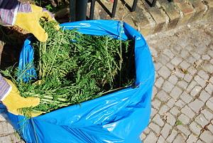 Ambrosia im Müllsack
