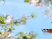 Blühende Obstbäume und Schmetterling