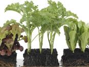 Pikierte Pflanzen