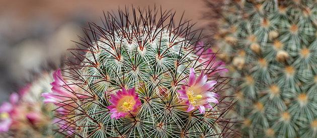 Ein blühender Kaktus