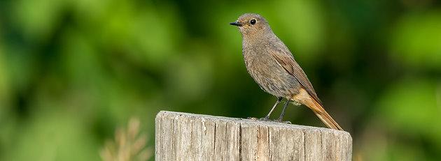 Singvogel im Garten