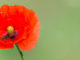Klatschmohn - Blume des Jahres 2017