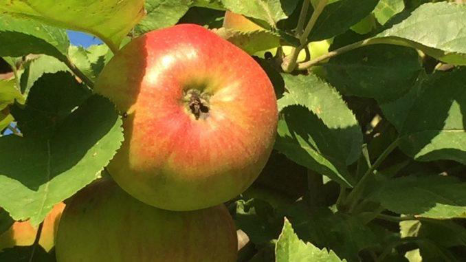 Reifer Apfel am Baum