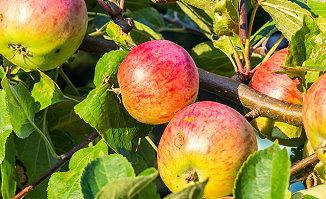 Obstbäume veredeln z.B. Apfelbaum