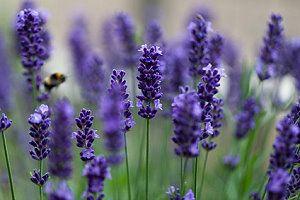 Lavendel Im Garten - Tipps Zum Pflegen Und Schneiden Lavendel Pflanzen Tipps Pflege