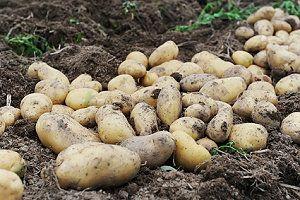 Kartoffeln Anbauen Und Ernten - Anleitung Garten Mit Kartoffeln Pflege Tipps