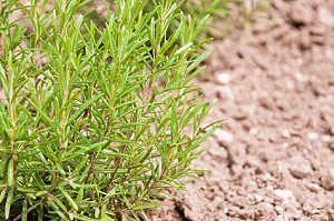 Rosmarin Im Garten Anbauen überwintern Verwendung