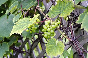 Weinreben pflanzen im garten standort pflege for Weintrauben im garten anbauen
