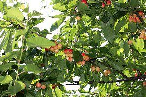 krankheiten des kirschbaums z b monilia kirschfruchtfliege. Black Bedroom Furniture Sets. Home Design Ideas