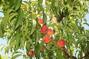 Pfirsichbaum pflanzen standort pflege - Pfirsichbaum im garten ...